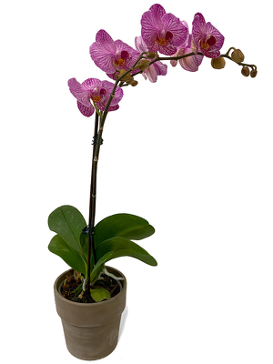 Single Purple Phalaenopsis Orchid from Sharon Elizabeth's Floral Designs in Berlin, CT