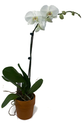 Single White Phalaenopsis Orchid from Sharon Elizabeth's Floral Designs in Berlin, CT
