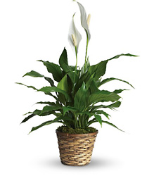 Simply Elegant Spathiphyllum - Small from Sharon Elizabeth's Floral Designs in Berlin, CT