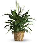 Simply Elegant Spathiphyllum - Medium from Sharon Elizabeth's Floral Designs in Berlin, CT