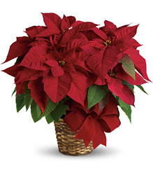Red Poinsettia from Sharon Elizabeth's Floral Designs in Berlin, CT
