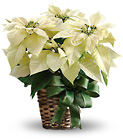 White Poinsettia from Sharon Elizabeth's Floral Designs in Berlin, CT