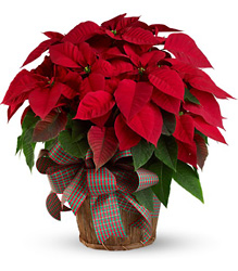 Large Red Poinsettia from Sharon Elizabeth's Floral Designs in Berlin, CT