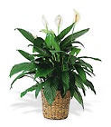 Large Spathiphyllum Plant from Sharon Elizabeth's Floral Designs in Berlin, CT