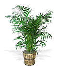 Areca Palm from Sharon Elizabeth's Floral Designs in Berlin, CT