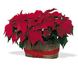 Double Poinsettia Basket from Sharon Elizabeth's Floral Designs in Berlin, CT